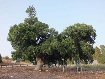 """למען הדורות הבאים: קק""""ל מצילה עצים עתיקים בעמק יזרעאל"""