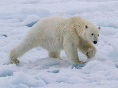המסע של מרלן בעקבות דובי הקוטב