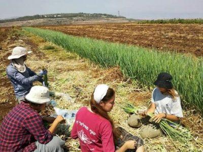 שורשיות: תלמידות יעבדו בחקלאות – וישלימו את לימודי הבגרות