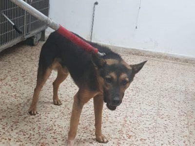 גן נר: כלב חולה בכלבת הרג 2 כלבים ותקף כ-20 נוספים