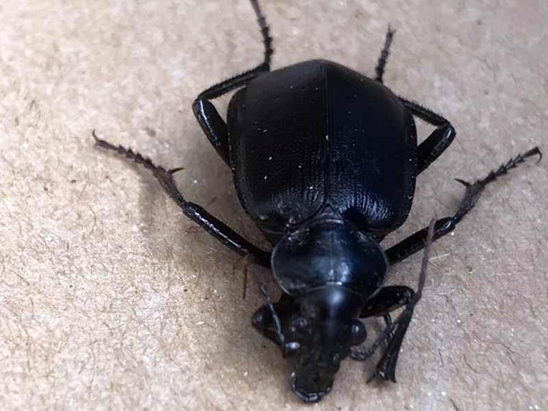 המשרד להגנת הסביבה מדווח: התפרצות של חיפושיות שחורות