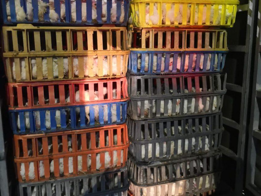 תושב נצרת נתפס במגדל העמק עם 700 עופות דחוסים בארגזי פלסטיק